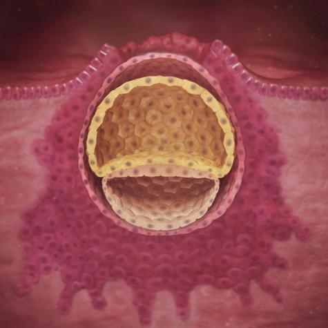 هفته سوم بارداری-رشد رویان