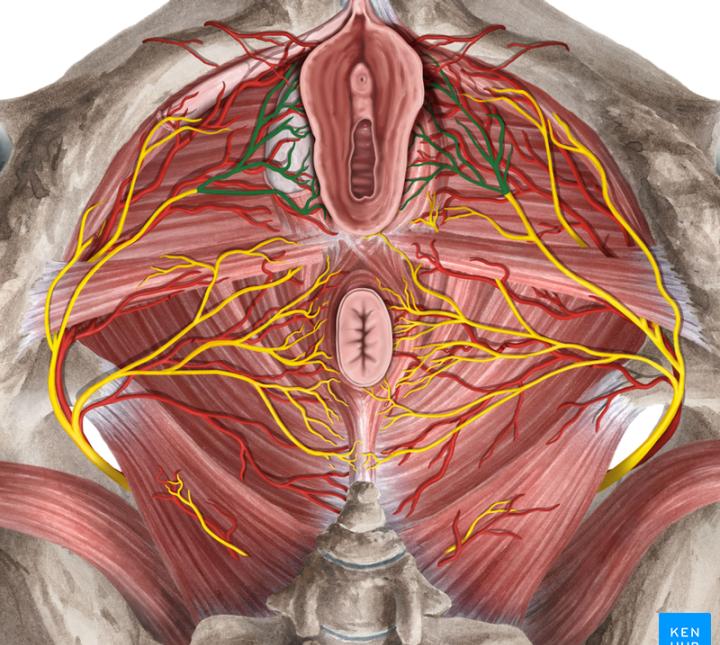 ساختار خارجی دستگاه تناسلی زنان