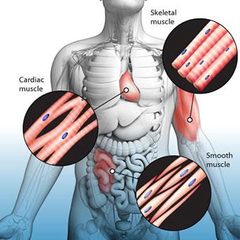 انواع مختلف عضله