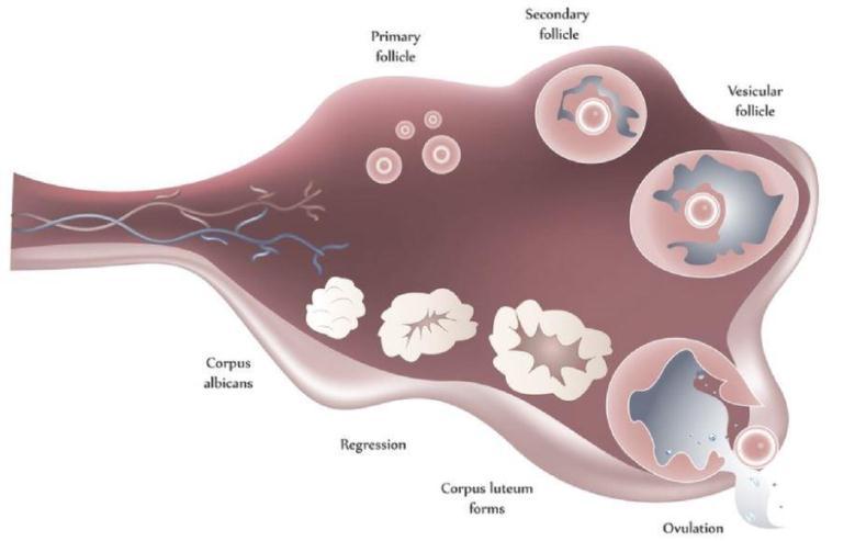 سطح طبیعی آنتی مولرین