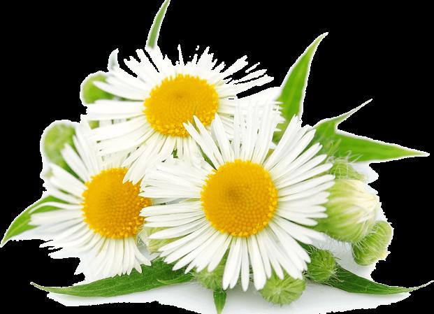 گل بابونه و حالت تهوع